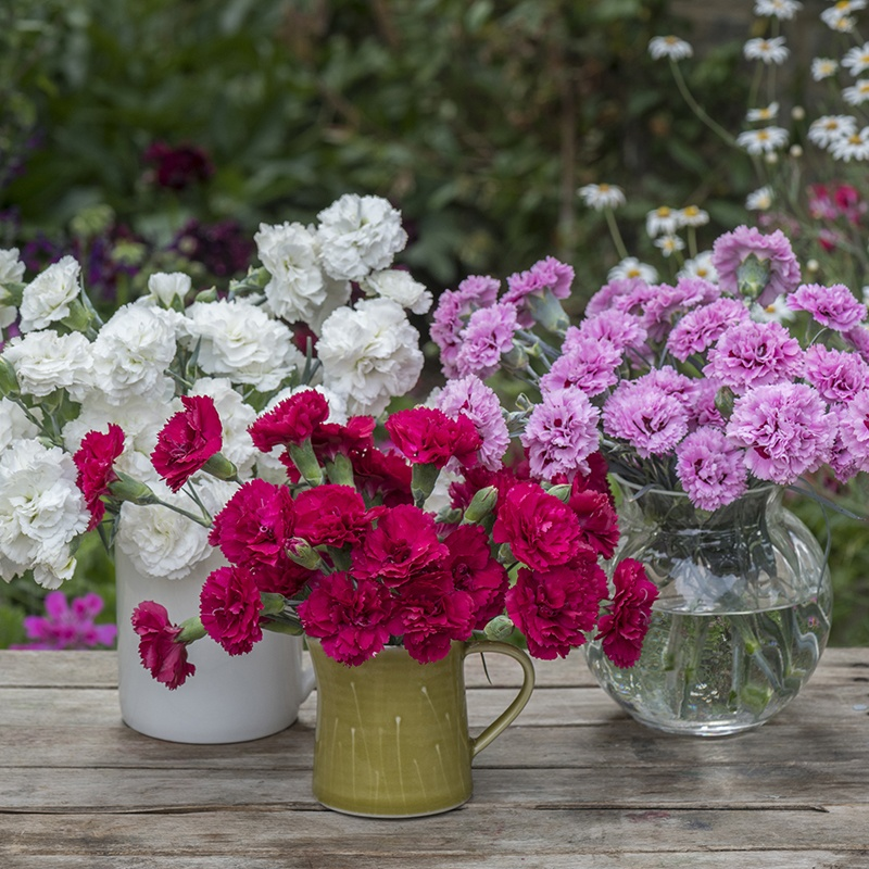 Scented Garden Pinks Flower Plant Collection From Woolmans
