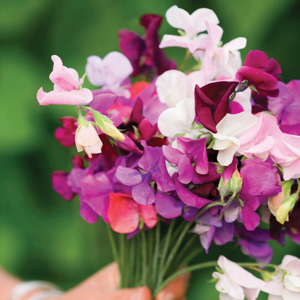 Sweet Pea Old Spice Mixed Garden Ready Plugs From Woolmans