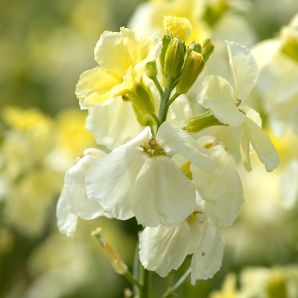 Wallflower ivory white flower plants from woolmans wallflower ivory white mightylinksfo