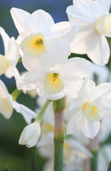 Flower Plants and Bulbs
