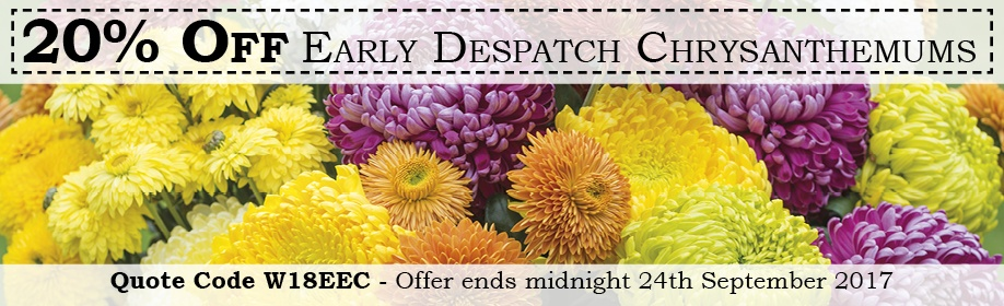 20% off Early Despatch Chrysanthemums