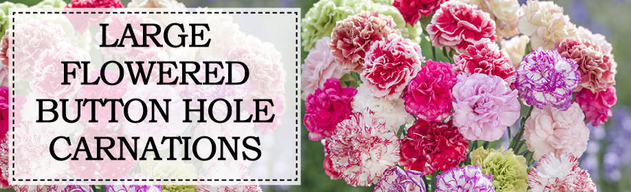 Large Flowered Button Hole Carnations