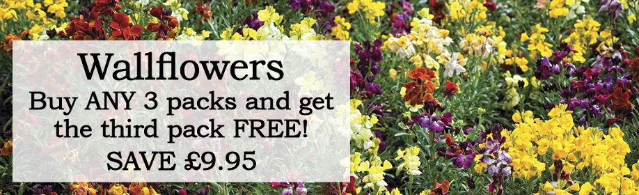 Wallflower Plants Buy 3 and Save