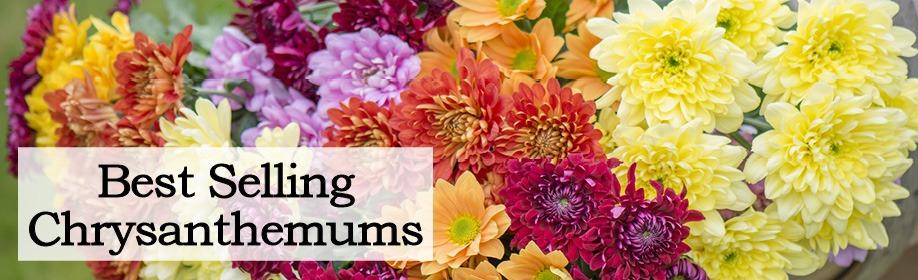Best Selling Chrysanthemums