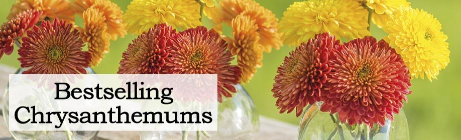 Bestselling Chrysanthemums