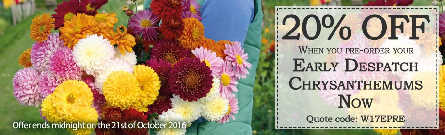 Sale - 20% off Early Despatch Chrysanths