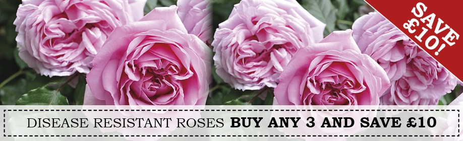 Buy 3 Roses Save £10.00