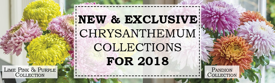 New & Exclusive Chrysanthmums