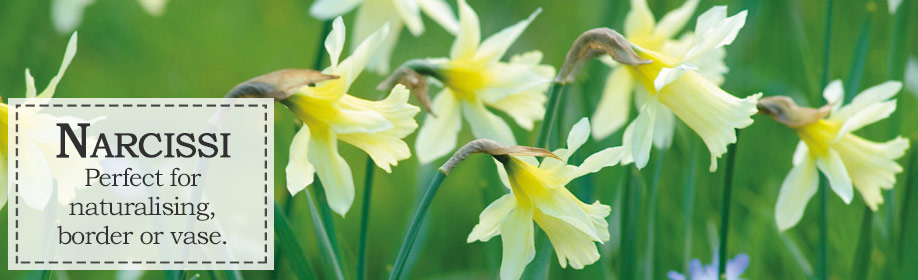 Narcissi bulbs from Woolmans