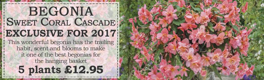 Begonia Sweet Coral Cascade