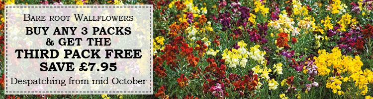Wallflower Plants