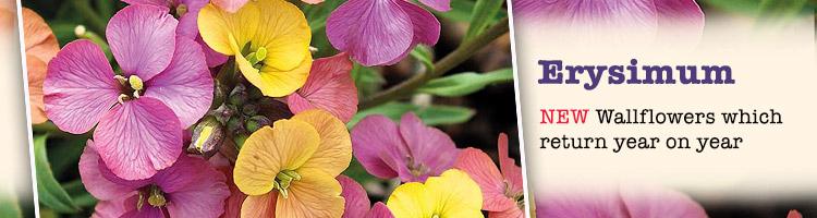 Erysimum plants