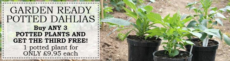 3 Litre Potted Dahlia Plants